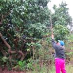 コーヒー農園のマンゴー