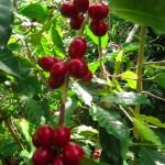 コナコーヒー収穫