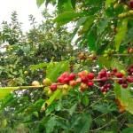 100年続く農園より〜コナコーヒーご注文承ります