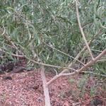 KOAの木
