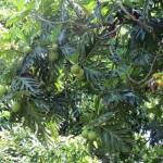 コナのウル(パンの木)